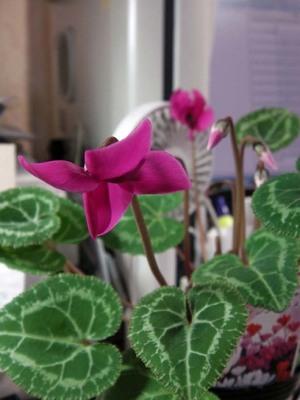 我が机上の花々IMGA0102_m.jpg