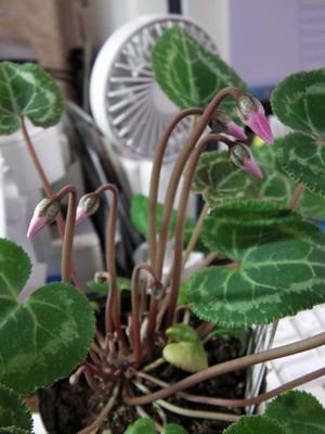 我が机上の花々IMGA0106_m.jpg