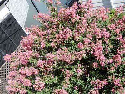 我家の庭の百日紅_DSCN3041_s.jpg