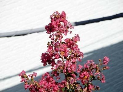 我家の庭の百日紅_DSCN3044_s.jpg