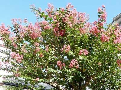 我家の庭の百日紅_DSCN3046_s.jpg